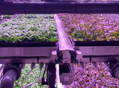 How to Grow Vegetables in Vegetable Greenhouses with Plant Grow Lights?